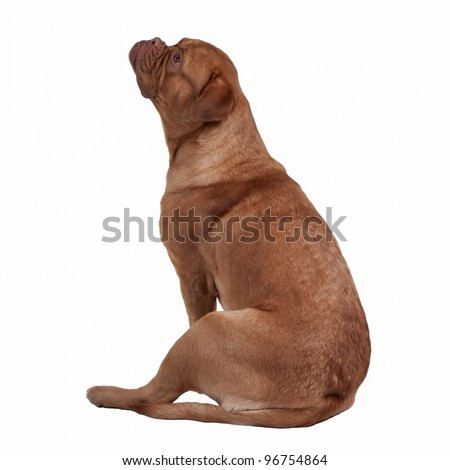 French Mastiff sitting isolated