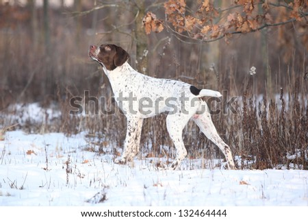 French Pointing Dog sniffing - stock photo