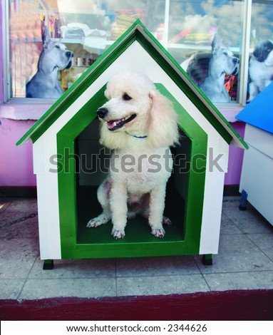 French poodle in a house - stock photo