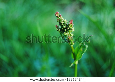 french sorrel detail (Acetosa pratensis) - stock photo