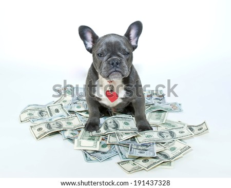 Frenchbulldog puppy that looks like he is guarding one hundred dollar bills. - stock photo