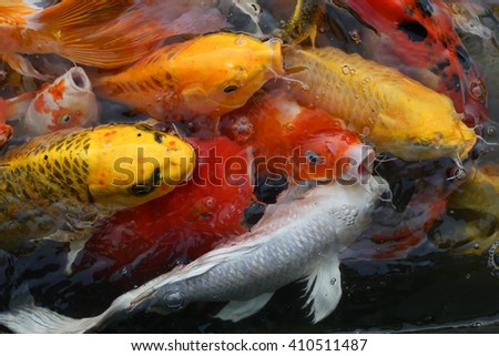 Frenzy Koi carps swimming in the Pond