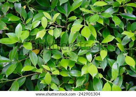 Fresh abstract natural background with green Bayan tree leaf - stock photo