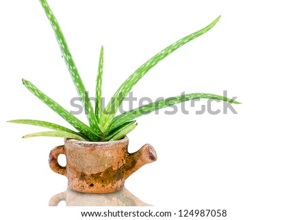 fresh aloe vera  isolated on white background