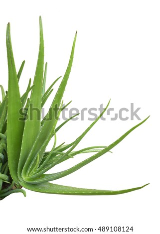 Fresh aloe vera tree isolated on white background. This has clipping path.