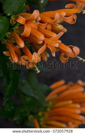 fresh and beautiful orange trumpets - stock photo