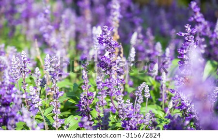 Fresh and beautiful purple lavender flowers with green leaf for nature background