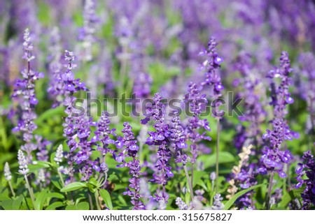 Fresh and beautiful purple lavender flowers with green leafs with selective focused point for nature background