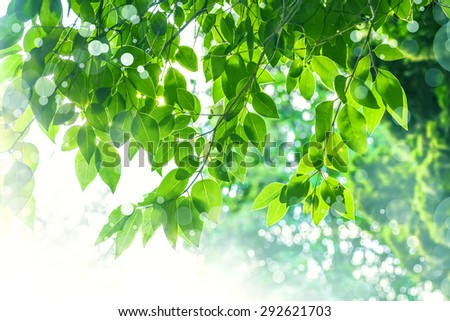 fresh and green leaves, branch with bright green leaves on a tree, summer theme background