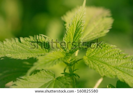 fresh and green nettle as a background of natural herbal plant - stock photo