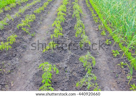 fresh and juicy garlic sprouts, carrots, green pepper and tomato on cultivated beds private garden plot - stock photo