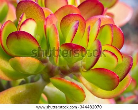Fresh and juicy Succulent Close-up / Macro shot - stock photo