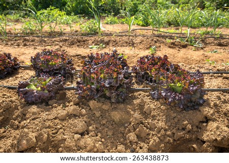 fresh and new organic lettuces in soil