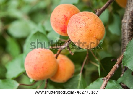Fresh and ripe apricot tree in the garden