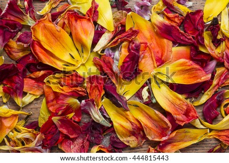 Fresh and withered tulip petals from red and yellow flowers on wood as a top view background image for spring and summer