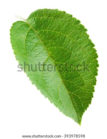 Fresh apple leaf isolated on white background.
