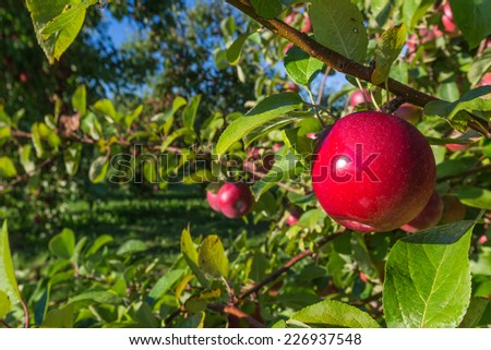 Fresh apple ripe for the picking in a commercial apple orchard. - stock photo