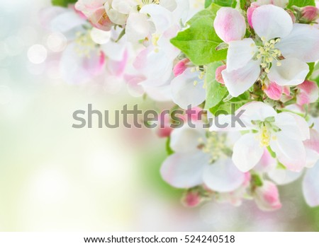 fresh Apple tree  twig with flowers and leaves on garden bokeh  background
