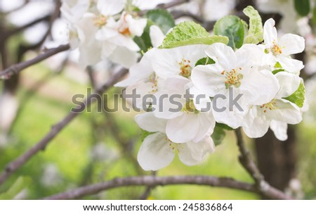Fresh apple white blossom on the branch - stock photo