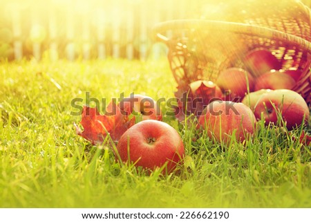 Fresh apples in nature. - stock photo