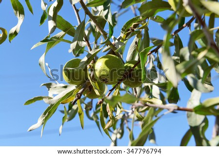 Fresh apples on the tree, close up