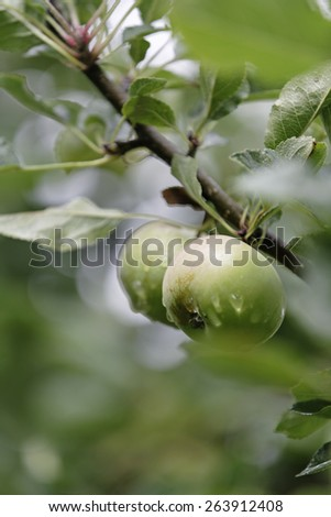 Fresh apples with moisture on growing in a summer orchard - stock photo
