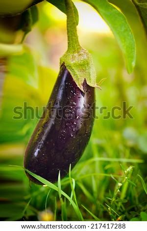 Fresh aubergine on vegetable garden - stock photo