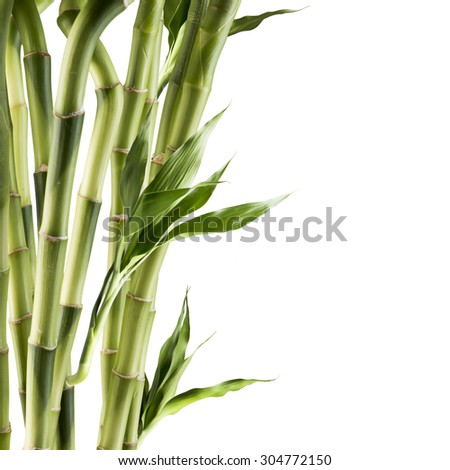 Fresh bamboo isolated on white background - stock photo