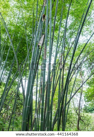 Fresh bamboo tree in the conserved forest of Thailand. - stock photo