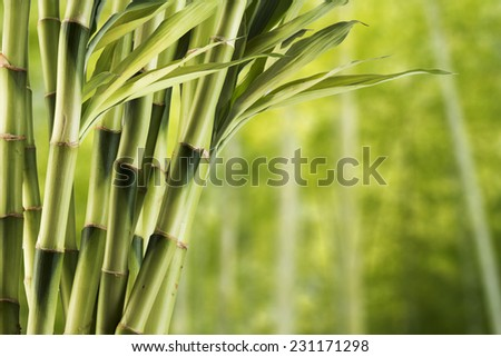 Fresh bamboo with bamboo forest in the background - stock photo