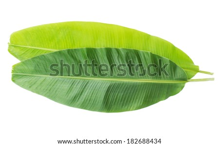 Fresh Banana Leaf Isolated with clipping path - stock photo