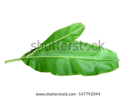 Fresh Banana Leaf Isolated with clipping path on white background. - stock photo