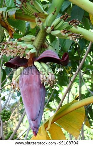 Fresh banana plant - stock photo