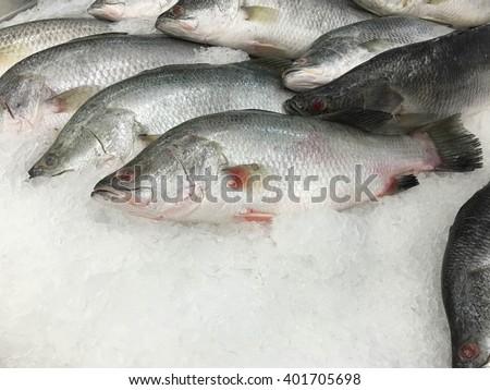 Fresh Barramundi, white perch,silver perch sold in the market. - stock photo