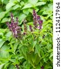 Fresh basil flower plant in the garden - stock photo