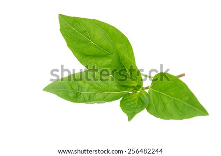 Fresh basil herb isolated white