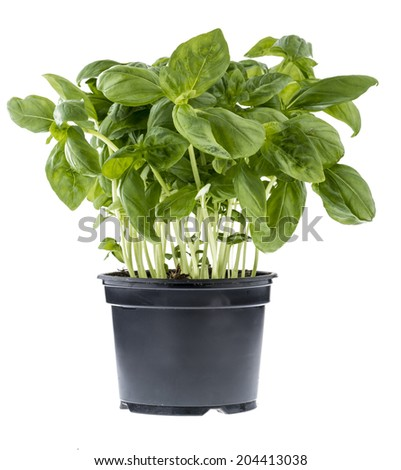 Fresh basil in a black pot isolated over white - stock photo