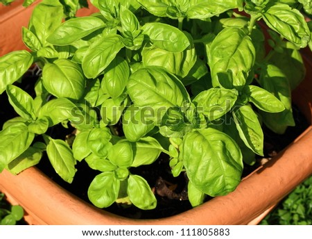 Fresh basil in a brown pot