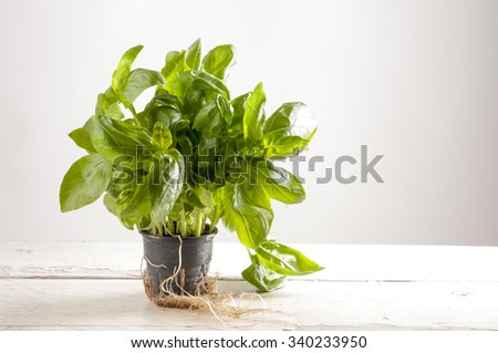 Fresh basil in a plastic pot. Hydroponics method of growing.
