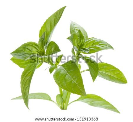 Fresh basil. Isolated on white background - stock photo
