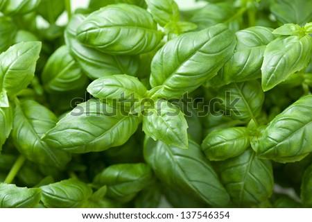 fresh basil leaves - stock photo