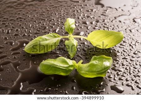 Fresh Basil leaves on a wet black background - stock photo
