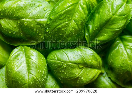 Fresh basil leaves with drops of dew - stock photo