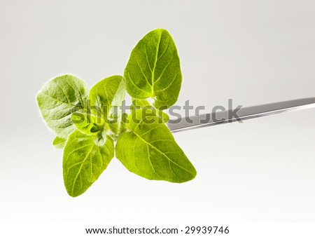 Fresh basil sprig on a knife - stock photo