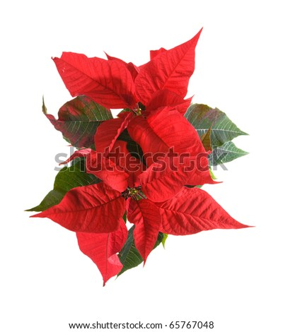 fresh beautiful green and red poinsettia (Euphorbia pulcherrima); plant isolated on white background;