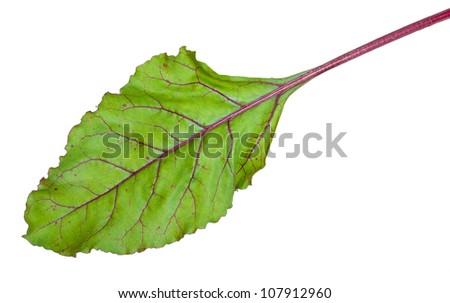 Fresh beet root leaf on white background - stock photo