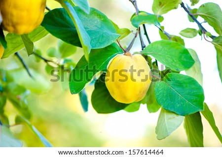 Fresh, bio, sweet and healthy quinces on tree at local farm, with sun rays and green background