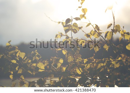 Fresh birch leaves after the heavy rain in the sunset. Image taken in Finland and image has a vintage effect. - stock photo