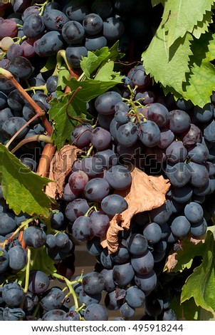 Fresh black grapes organically grown