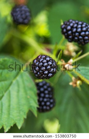 Fresh blackberries on a bush outdoors  in a field - stock photo
